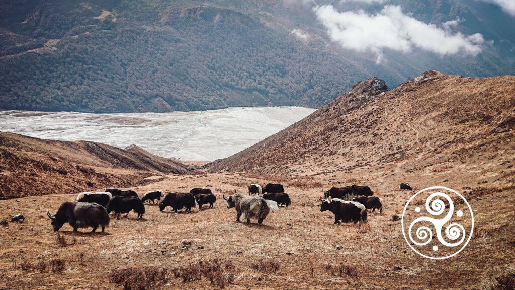 Im Sommer werden die Yaks in Langang gemolken. Im Winter leben sie frei.